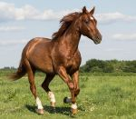 Quarter Horse stock 6 - rabicano by Skunktail17