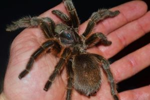 rose hair tarantula by sethhanbury