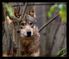 young wolf by morho