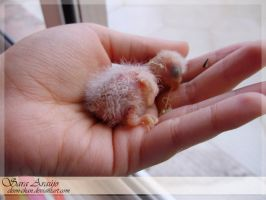 Lovebird one week old by Sara-Araujo
