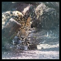 Leopard 5 by Globaludodesign