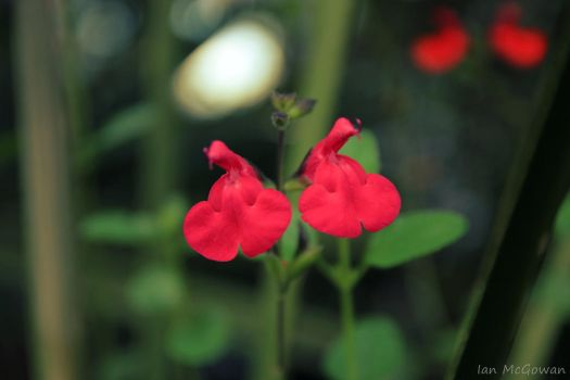 Salvia bloom . by 999999999a