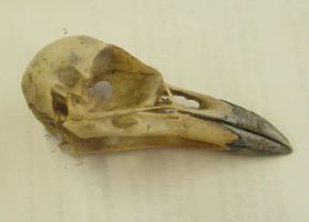 crow raven bird skull 3 by InKi-Stock