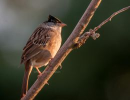 Sparrow Punk by kayaksailor