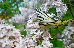 Papilio machaon by kingdaughter