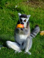 Lemur by the-other1