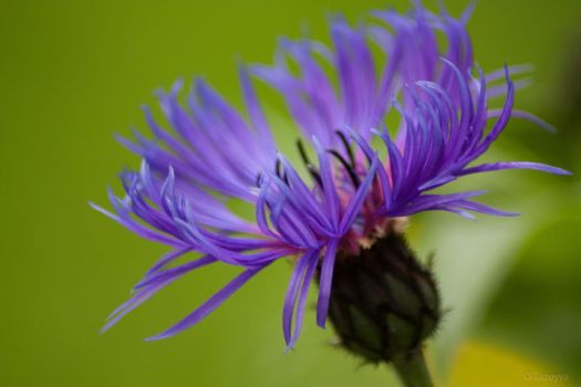 Cornflower by Lureyya