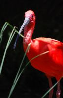 Scarlet Ibis by AnxietyPatient