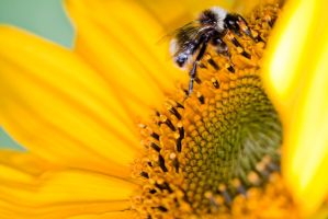 Bee gathering sunflower nectar by SilverWolf112