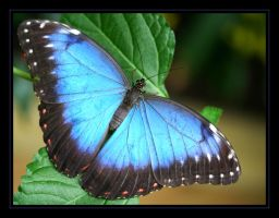 Blue Morpho II by Audhild