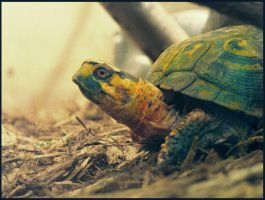 Colorful Tortoise by RandyHand