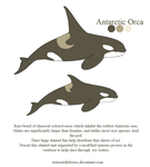 Antarctic Orca by WeisseEdelweiss
