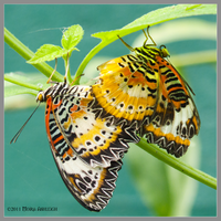 Leopard Lacewings Mating by Mogrianne