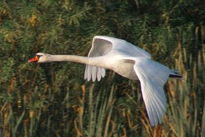 Flying swan by starykocur
