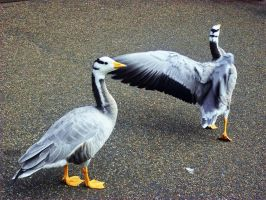 Bar-headed geese by WillowDana