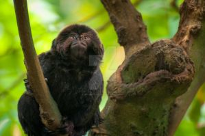 Goeldi's Monkey by Wild4Wildlife