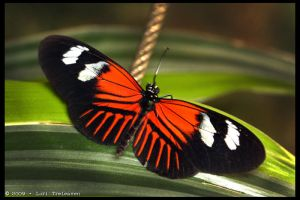 Postman Butterfly 3 by Vamppy