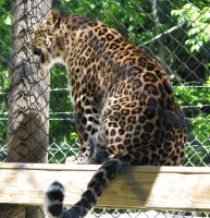 Amur Leopard Stock 12 by HOTNStock