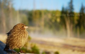 Juvenile Brown-Headed Cowbird by jayshree