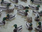 Snow ducks- Mallards by Rennon-the-Shaved