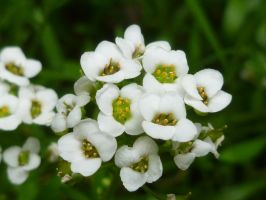 White Madens by ArtLover57