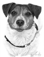 Commission - Jack Russell Terrier by Captured-In-Pencil