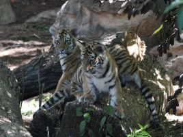 Tiger Cubs 4 by Razgar
