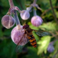 European Hoverfly 2 by Lupsiberg