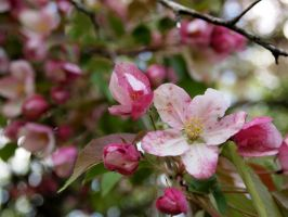 Apple Blossoms by techunit