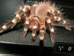 Geniculata by Sinneris