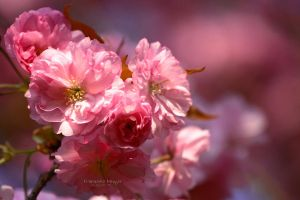 - pretty in pink - by hortensie