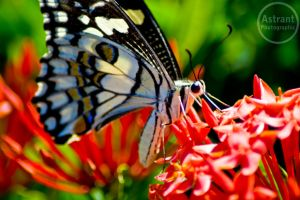 Butterfly by astrant82