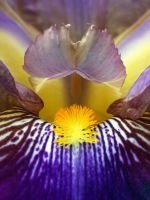 Iris Intensity by andras120