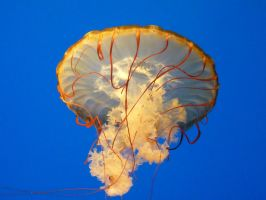 Pacific Sea Nettle by jezebel144