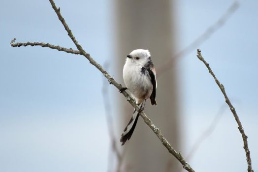 Long-tailed tit #1 by AnAE11