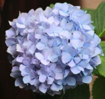 Blue Hydrangea by paws720