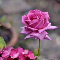 Big pink rose 2 by FrancescaDelfino