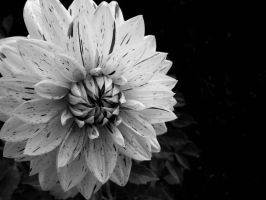 Black and White Flower by Utgardar