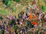 Peacock Butterfly by martinemes