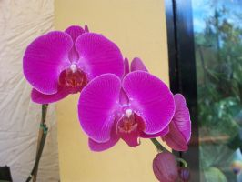 Orchid6 by somebodyaf