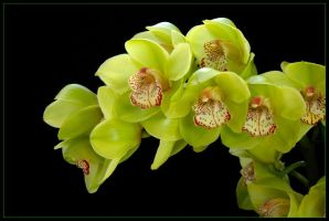 GREEN ORCHIDS by THOM-B-FOTO