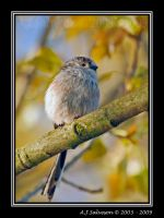 Long Tail Tit VII by andy-j-s