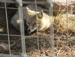 Colorado Wolf and Wildlife Center_60 by LumiTheWolf