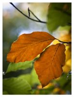 Beech leaves by Vampirbiene