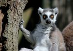 Ringtail by Lucky101212