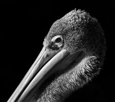 Pelican 2.0 by Dullface