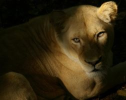 White Lion by bobr99