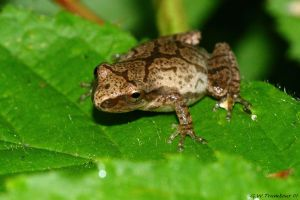 Little tree Frog 1 by natureguy