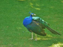 Male Peacock by Midnyt-Moonlight