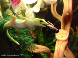 Pokie, my Day Gecko by SgtGecko